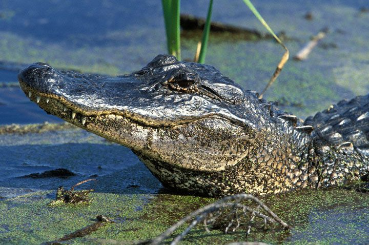 dc034dc860a91c3cfa250b99f3bce4f0--alligators-crocodiles