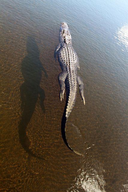 f37de505fe5ce969a3593f588b9bb023--crocs-alligators